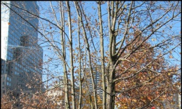 Survivor Tree, el último sobreviviente del World trade Center